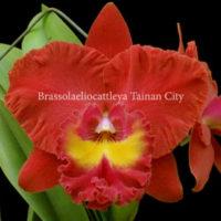 Cattleya Blc Tainan City x Lc Phai Loeng