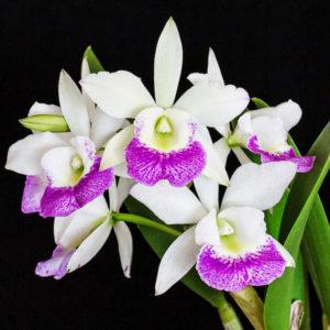 Cattleya Bc Hawaii Stars Hsinying