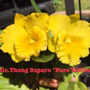 Cattleya Rlc Thong Suphan Pure Yellow