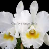 Cattleya Hawaiian Wedding Song Virgin