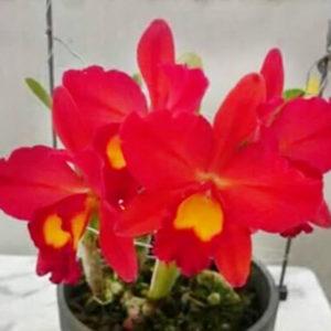 Cattleya Mini Đỏ Nhật