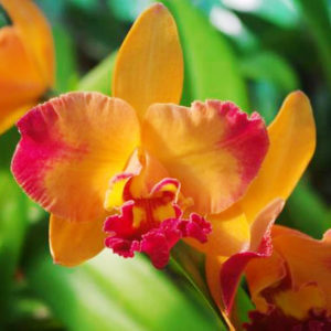 Cattleya Rth Chief Sunny Dragon