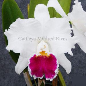 Cattleya Thiên mẫu trắng
