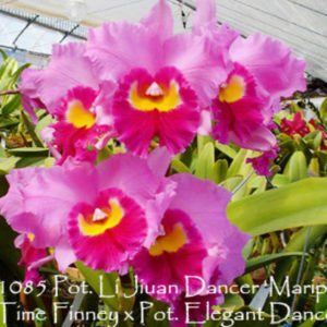 Cattleya Rlc Li Jiuan Dancer