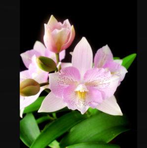 Cattleya Clty Chantilly Lace Twinkle