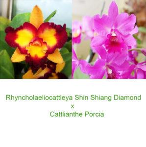Cattleya Shin Shiang Diamond x Porcia