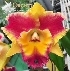 Cattleya Warm Welcome