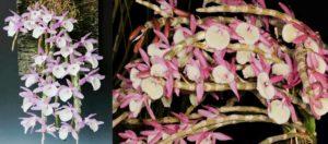 Các loại lan rừng nở dịp tết