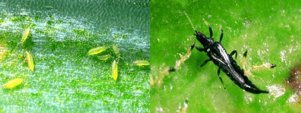 Diệt trừ bọ trĩ trên phong lan