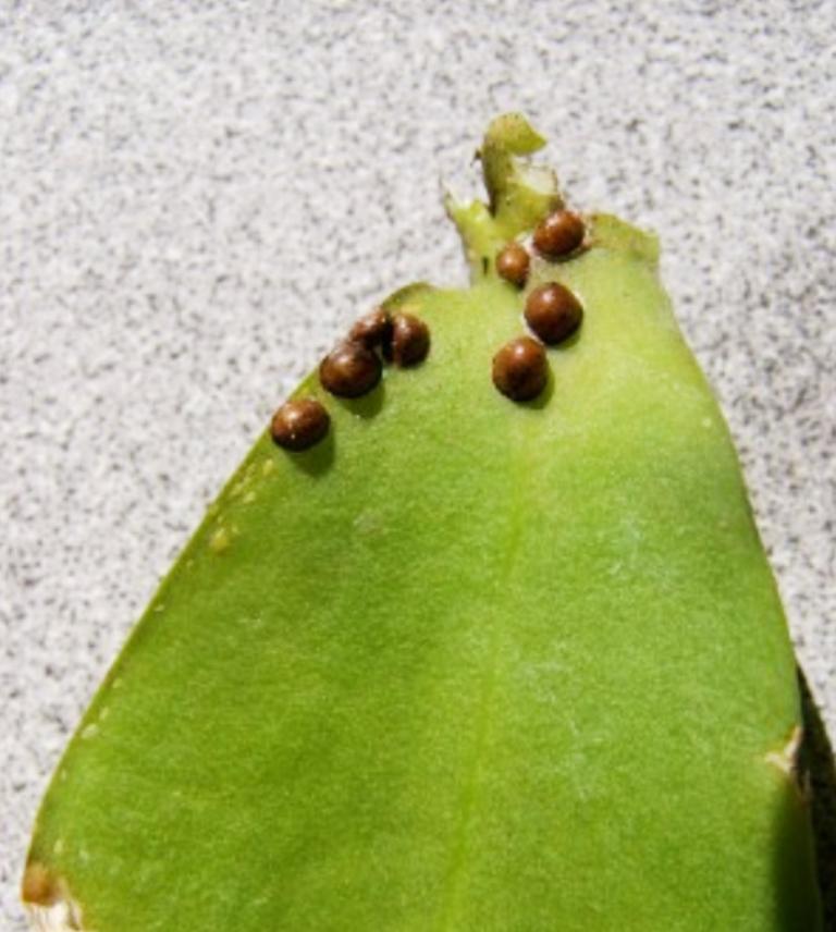 Diệt trừ rệp sáp hại lan