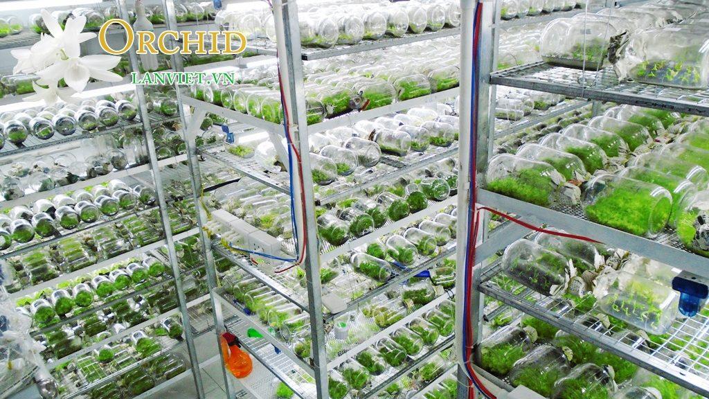 Kỹ thuật nuôi trồng lan cấy mô