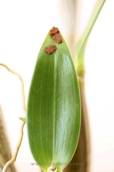 Trị bệnh đốm lá trên lan