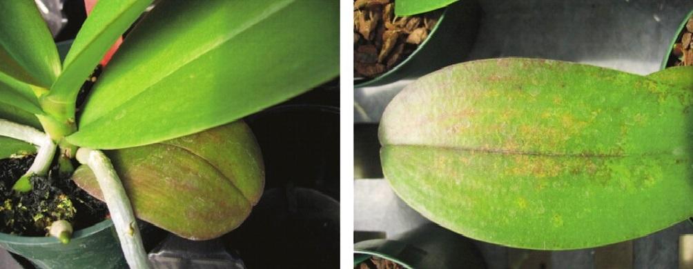 Bổ sung trung vi lượng cho phong lan