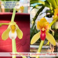 Lan kiếm Taiwan Original x Jindamanee Thailand