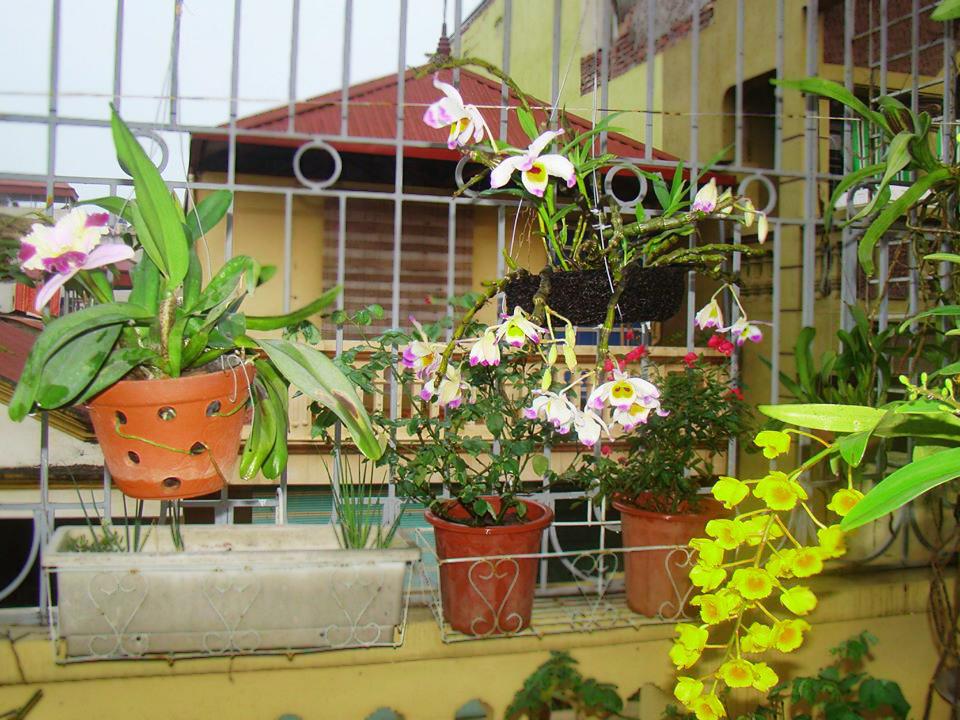 Kỹ thuật trồng lan sân thượng