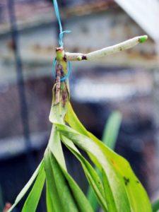 Lan bị thối nhũn lá