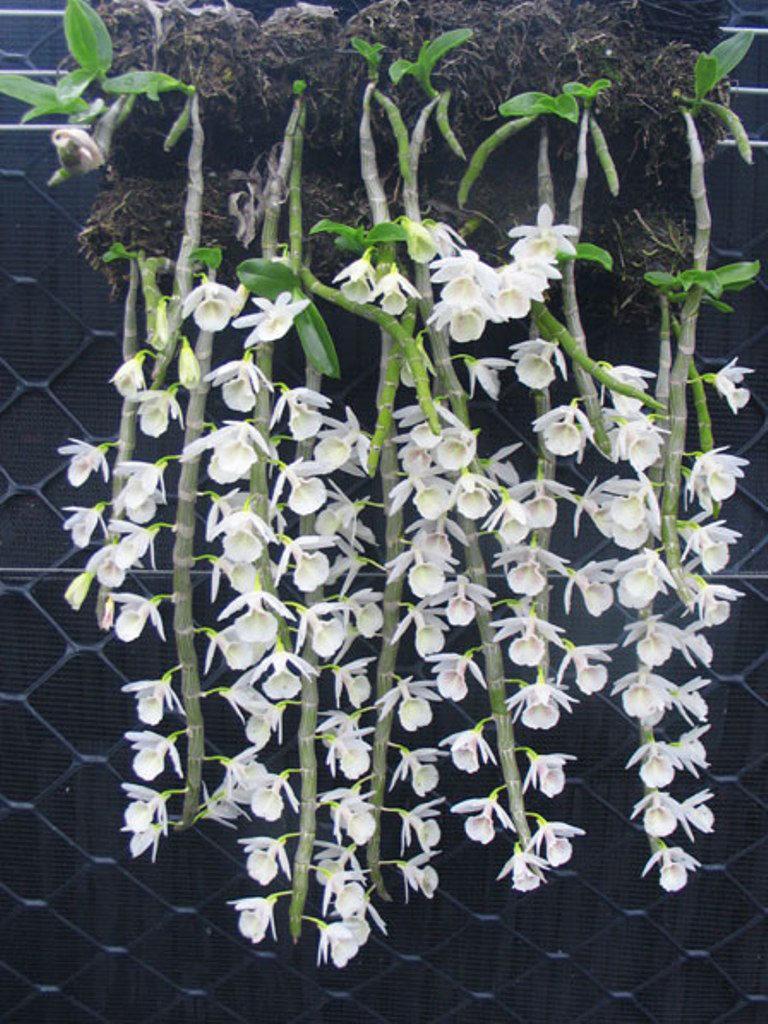 Cắt nước kích hoa lan thân thòng