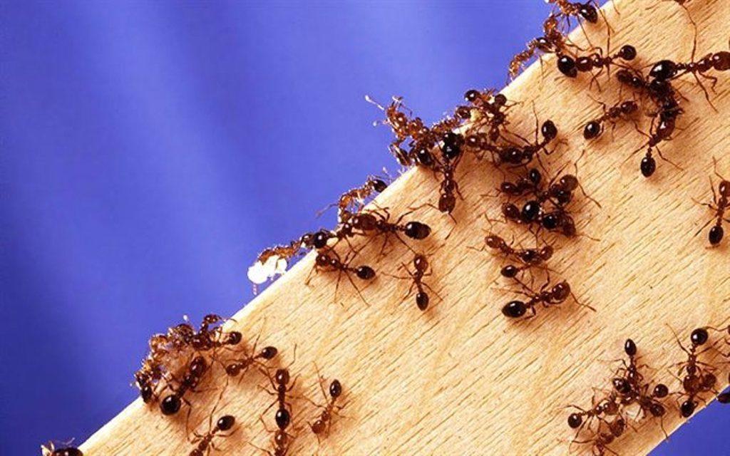 Thuốc diệt kiến sinh học