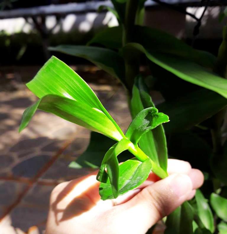 Cách trị xoắn ngọn phong lan