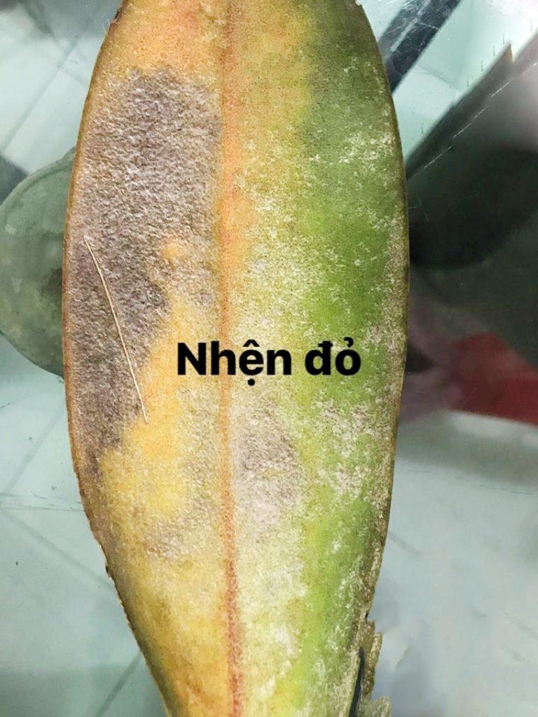 Hình ảnh bệnh thường gặp trên phong lan