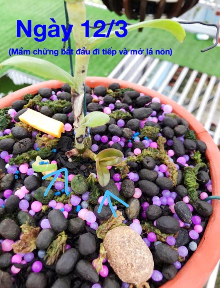 Cách kéo dài đọt mầm lan bị chai
